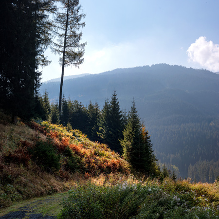 Autumn forest in the mountains. Austria. High spruce and gentle slopes of the Alps. Thick grass at the foot of the trees. Not far away is the lake Weissensee.
