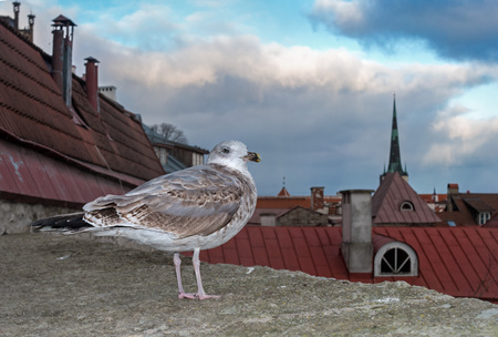 White seagull is standing on the fortress wall on the background of the city tiled roofs of Tallinn. Estonia. View of Tallinn from the height of the Old City.