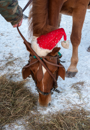 The horse eats hay. Muzzle horse closeup. Horse brown suit. The horse has a bridle, blinders and a New Years cap. Winter period. Hay is lying on the snow Imagens