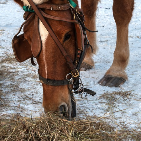 The horse eats hay. Muzzle horse closeup. Horse brown suit. The horse has a bridle, blinders and a New Years cap. Winter period. Hay is lying on the snow