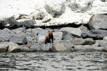 lejano oriente: Brown bear in the Spring by the sea. Far East, Russia,