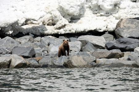 lejano oriente: oso pardo en la primavera por el mar. Extremo Oriente, Rusia,