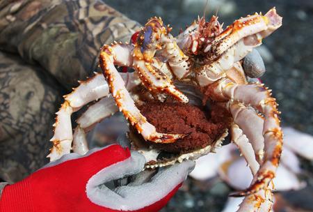 lejano oriente: Cangrejo Extremo Oriente con caviar en las manos del pescador,