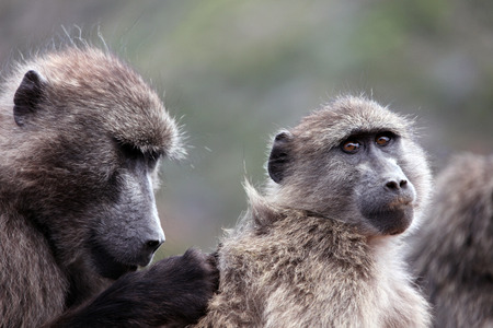 Baboons catch insects in wool. Cape Town. South Africa.