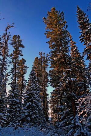 the taiga: Siberian mountain taiga in winter in the Sayan mountains, Stock Photo
