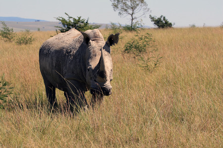 guarded: Rhino, rhinoceros, Kruger national Park. South Africa;
