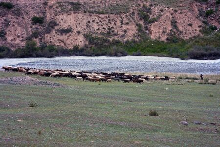 tien shan: Flock of sheep with a shepherd returns from mountain pastures in the shed. Tien Shan, Kyrgyzstan. Stock Photo