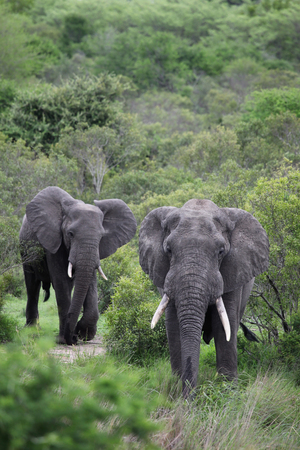 Two African elephant. Adult males with tusks going to the waterhole in the Kruger Park. South Africa, to the waterhole in the Kruger Park. South Africa, Stock Photo