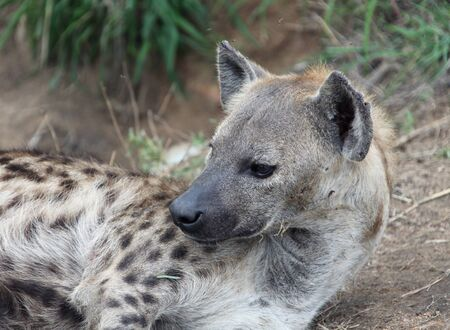 hienas: hienas africanos femeninos. Hiena manchada en el Parque Kruger. Sudáfrica, Foto de archivo