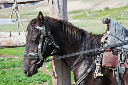 Kyrgyz black stallion in harness with a saddle at the hitching post. A saddled horse tied to the fence. Tien Shan, Kyrgyzstan