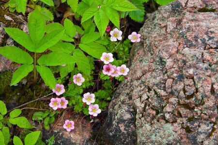 Flowering plant pink saxifrage (Saxifraga). Saxifrage pink flowers, amid the rocks and grass; grass; leaves, peduncle, perennial, ground cover
