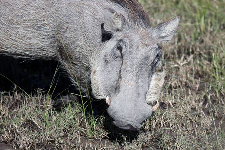 Okavango Delta: Warthog (Common Warthog) feeding. Delta Okavango, Botswana; Stock Photo