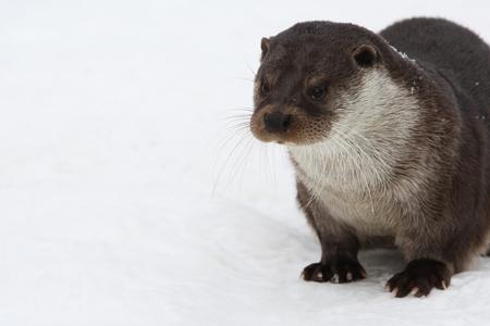 European otter, also known as the Eurasian otter, Eurasian river otter, Lutrinae