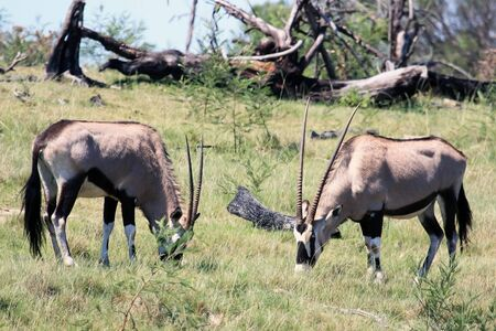 Two grazing African antelopes Oryx. Gemsbok in South Africa, Stock Photo