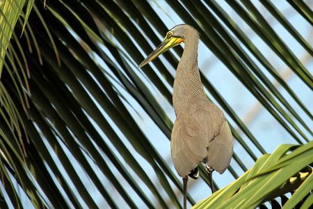 palma: Big green Heron on the palm in Costa Rica,