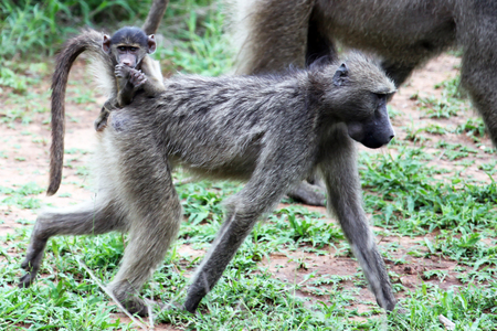 The female baboon moves with cub on the back. The female Primate in motion with a small baby, Stock Photo