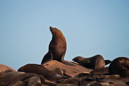 De mannelijke Cape-pelsrob bij een roekenkolonie. Mannelijke vinpotigen op het land. Zuid-Afrika,