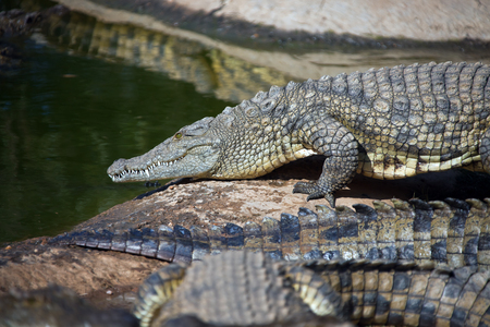 Nile crocodile goes from the shore into the water. Adult large African crocodile.South Africa Stock Photo