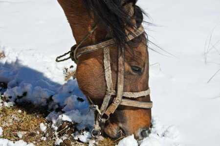 The head of the Kyrgyz horse in harness, close up. The horse in winter in the mountains feed on grass. Kyrgyzstan