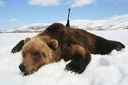 Trophy Kamchatka brown bear with a rifle after the spring hunt. Bear hunting in Siberia. Russia,