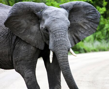 An elephant with open ears looks at the camera. A young male elephant closes the road. Africa Фото со стока