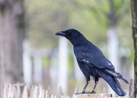 Black raven is sitting on a fence post. A large bird of prey from the corvidae family looks at the camera. Фото со стока
