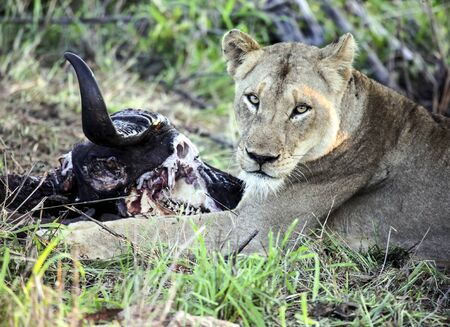 Lioness and skull of a killed buffalo. A female lion looks at the camera next to the head of a buffalo eaten. Predator and prey in the African bush