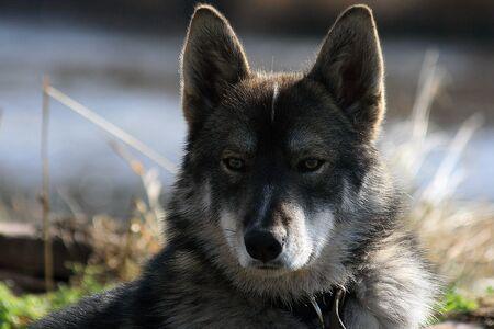 Siberian hunting dog Laika, Siberia, Russia,