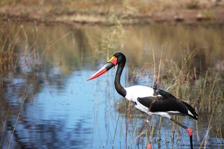 Jabiru storks setloglevel hunting in the Delta Okavango, Botswana, Аист седлоклювый, биру на охоте в дельте Окованго, Ботсвана,