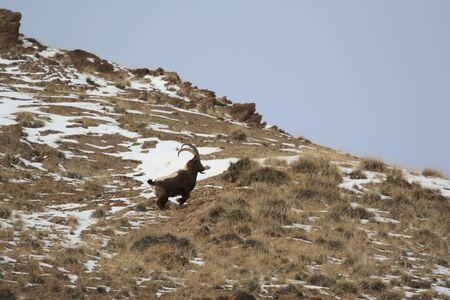 Running down the slope Ibex. Goat in the mountains of Tien Shan, Kyrgyzstan, Бегущий по склону козерог. Козел в горах Тянь-Шаня, Киргизия