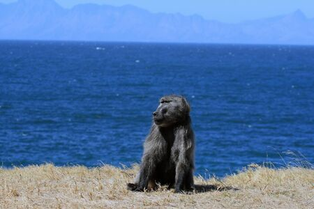 Adult male baboon sits on a lawn against the background of the ocean. Chacma baboons on the ocean. Cape Town, South Africa, Stockfoto