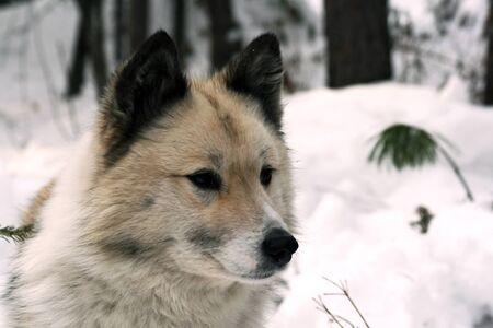 Siberian hunting dog Laika, Portrait of a Siberian hunting dog - husky. Siberia, Russia,