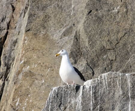 Silvery gull on the rocks of a rocky island in the sea. Eastern morph of a male silver gull in nesting sites on a rock in the sea of Okhotsk .