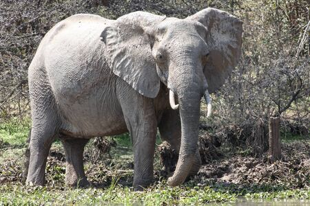 African elephant after taking mud baths. Female elephant with fangs splattered with mud. Elephant on the shore of the reservoir.