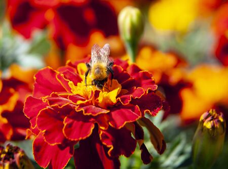 Bumblebee collects nectar and pollinates the flower. A hymenopteran insect from the family of true bees sits on a marigold flower. Garden, flower bed, plant, nature Banco de Imagens
