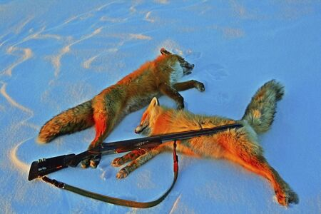 Two trophies foxes and the gun in the winter on snow after hunting, Foxes and a rifle on the snow after hunting in the evening sun
