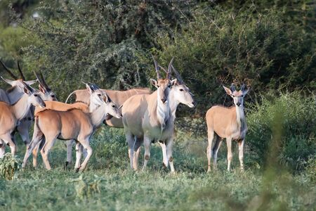 Females and calves of African antelopes and birds in the Bush. Young bull with female and calves of Eland antelope in the hunting grounds