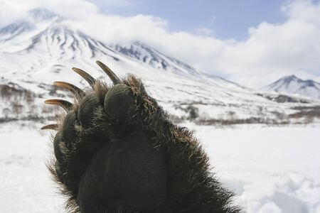The front paw of a brown bear on the background of the Kamchatka volcano. Right front paw of the Kamchatka bear after spring hunting. 스톡 콘텐츠