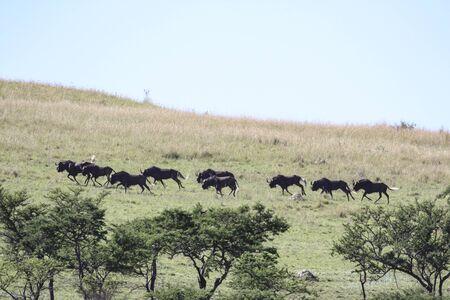 A herd of black wildebeest runs down a hill in the savanna. Wild animals antelope run through grasslands in Africa.