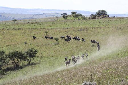 Wild animals black wildebeest run through grassy areas in Africa. A herd of black wildebeest runs down a hill in the savanna and raises dust. 스톡 콘텐츠