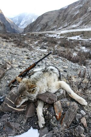 Gray wolf and a rifle after hunting in the mountains. The wolf shot by a shepherd after the attack on the sheep.