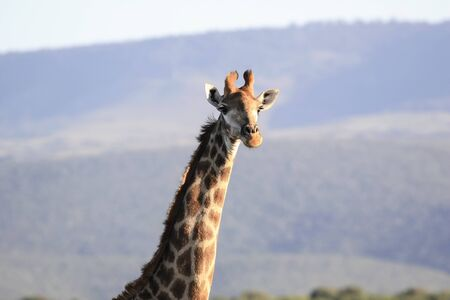 African giraffe in the rays of the evening sun. Wild adult male giraffe at sunset. 스톡 콘텐츠