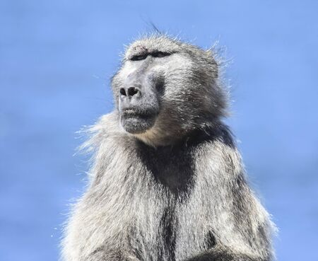 Portrait of a male baboon with a wound above the eyebrow. A wild African baboon monkey sits on a blue sky background.