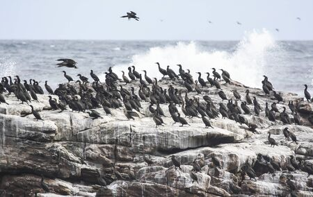 A colony of large cormorants on a rock during a storm. A group of diving seabirds from the genus cormorants. 스톡 콘텐츠