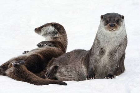 Two river European otters play in the snow. A pair of semi-aquatic mammals from the genus of Martens clean their fur in winter after a snowfall.
