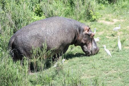 Hippopotamus grazes during the day in a water meadow with herons. A large male Hippo eats grass on the lawn by the pond. 스톡 콘텐츠