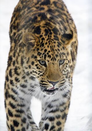 The Amur leopard is on the white snow in the winter. A wild large adult male leopard moves towards you along the path after a snowfall. Imagens