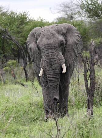 A large male African elephant goes on camera. A large lone bull elephant with tusks moves forward. 스톡 콘텐츠