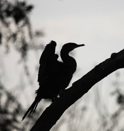 The dark profile of a large cormorant on a branch in the background light. Black profile of a bird of prey on a diagonal branch.