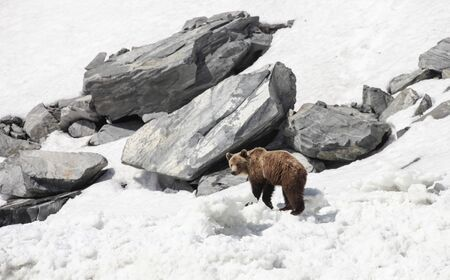 A young brown bear in the snow among large stones. Bear in the spring in search of food goes along the beach.